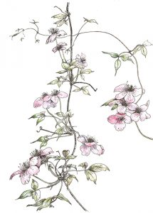 Clematis pen & ink & watercolour Rosemary Dodgson