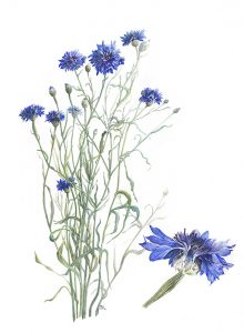 """Cornflowers"" -  watercolour by Rosemary Dodgson"