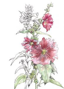 Hollyhocks pen & ink with watercolour Rosemary Dodgson