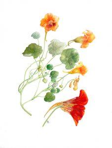"""Nasturtiums"" original Watercolour Rosemary Dodgson"
