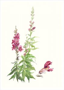 Pink Snapdragon watercolour Rosemary Dodgson