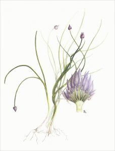 Chives watercolour Rosemary Dodgson