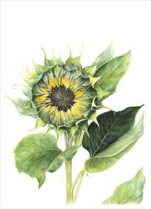 Sunflower_800px